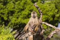 Yellow baboon resting on tree branch, Tsavo, Kenya — Stock Photo