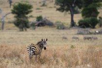 Ritratto di una zebra comune, Equus quagga, guardando la macchina fotografica, Tsavo, Kenya — Foto stock