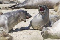 Maschio elefanti settentrionali foche sparring, Ano Nuevo State Park, Pescadero, California, Stati Uniti — Foto stock