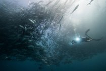 Подводный вид дайвера, плавающего среди рыб-домкратов в синем море, Нижняя Калифорния, Мексика — стоковое фото