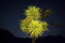 Joshua tree in desert at night — Stock Photo