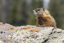 Yellow-bellied marmot (Marmota flaviventris), close-up, Yellowstone National Park, Wisconsin, United States, North America — Stock Photo