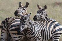 Cebras comunes de pie juntos en Tsavo, Kenia - foto de stock