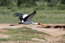 Gelbschnabelstorch, Mycteria ibis, im Flug, tsavo, kenya — Stockfoto