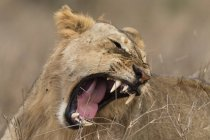 Sub дорослих Лев ревом в Тсаво, Кенія — стокове фото