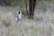 Macaco de vervet, Chlorocebus aethiops, parado e olhando para a câmera, Tsavo, no Quênia — Fotografia de Stock