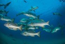 Snapper fish in ocean, Punta Baja, Baja California, Мексика — стоковое фото