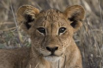 Ritratto del cucciolo di leone che guarda la macchina fotografica e giace sull'erba in Kenya — Foto stock