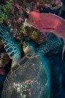 Tortugas y ovejas alimentadas por corales, Seymour, Galápagos, Ecuador, América del Sur - foto de stock
