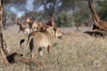 Leone in cerca di prede e cammina sull'erba a Tsavo, Kenya — Foto stock
