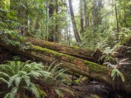 Fallen trees in moss in forest, Armstrong Redwoods State Natural Reserve, California, United States, North America — Stock Photo