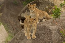 Two funny lion cubs on stones in serengeti national park, tanzania — Stock Photo