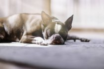 Portrait of Boston terrier sleeping — Stock Photo