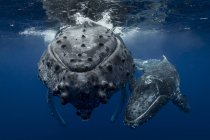 Buckelwal (megaptera novaeangliae) und Kalb in den Gewässern von Tonga — Stockfoto
