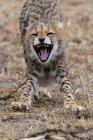 Carino cucciolo di ghepardo sbadigliare, Masai Mara National Reserve, Kenya — Foto stock