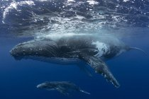 Humpback whale and calf in the waters of Tonga — Stock Photo