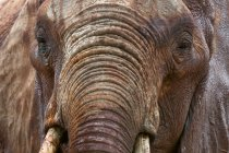 Cropped image of one big brown Elephant in Tsavo East National Park, Kenya — Stock Photo