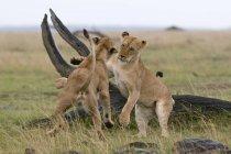 Due leonesse giocando nella Riserva Nazionale Masai Mara, Kenya — Foto stock