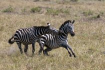 Two Zebras running and playing in Masai Mara, Kenya — Stock Photo