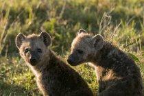 Ha notato dei cubs Hyaena seduto sull'erba, riserva nazionale di Masai Mara, Kenya — Foto stock