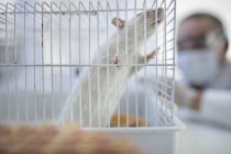 White rat in cage, laboratory worker in background — Stock Photo