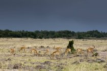 Impala al pascolo a riserva nazionale di masai mara, Kenya — Foto stock