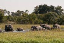 Elefanten im Wasser im Okavango-Delta, Botswana — Stockfoto