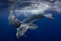 Buckelwal und Kalb in den Gewässern von Tonga — Stockfoto