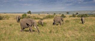 Panoramic view of African Elephants feeding in Masai Mara National Reserve, Kenya — Stock Photo