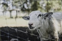 Portrait of sheep looking out from wire fence — Stock Photo