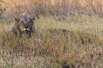 Großer grauer Löwe, der im Gras ruht und im Masai-Mara-Nationalreservat, Kenia, wegsieht — Stockfoto
