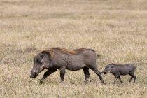 Warzenschwein und Jungtier laufen auf Gras, Masai Mara, Kenia — Stockfoto