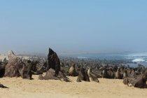 Cape fur seal (Arctocephalus pusilus), Skeleton Coast National Park, Namibia. — Stock Photo