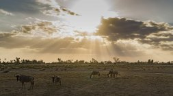 Gnus Wandern in Rift Valley Nationalpark Amboseli, Amboseli, Kenia — Stockfoto