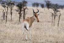 Hartebest standing at masai mara national reserve, Kenya — Stock Photo