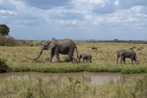 Side view of African Elephant and cubs walking on grass in Masai Mara, Kenya — Stock Photo