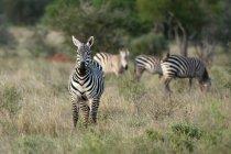 Stipendien-Zebras grasen auf Lualenyi Game Reserve, Kenia — Stockfoto