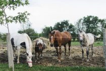 Троє коней і Паломіно поні, дивлячись з paddock паркан — стокове фото