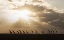 Giraffen bei Sonnenuntergang im amboseli Nationalpark, amboseli, Rift Valley, Kenia — Stockfoto