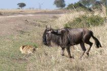 Leone sdraiato sull'erba e guardando bufala nel Masai Mara, Kenya — Foto stock