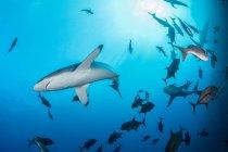Sharks swimming in sea, Socorro, Baja California — Stock Photo