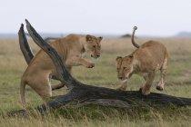 Две львицы, играя в Масаи Мара Национальный заповедник, Кения — стоковое фото