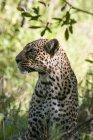 Леопард (Panthera заводу), Масаі Мара Національний заповідник, Кенія — стокове фото