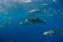 Gelbschwanzschule (seriola quinqueradiata) schwimmt oberflächennah, guadalupe, mexiko — Stockfoto