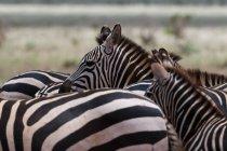 Subventions de zèbres dans le Parc National de Tsavo East, Kenya — Photo de stock