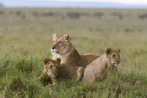 Lioness and cubs resting together on grass in Masai Mara National Reserve, Kenya — Stock Photo