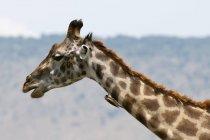 Vista laterale di piccolo uccello che si siede sulla giraffa, Masai Mara, Kenya — Foto stock