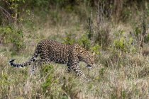 Vue latérale du léopard marcher sur l'herbe, Masai Mara, Kenya — Photo de stock