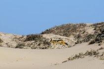 Black-backed Jackal (Canis mesomelas), Parque Nacional costa de esqueleto, Namíbia — Fotografia de Stock