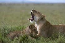 Side view of Lioness roaring and cub lying on green grass in Masai Mara National Reserve, Kenya — Stock Photo